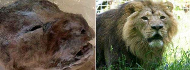 10 bin yıllık aslan yüzü ortaya çıktı!