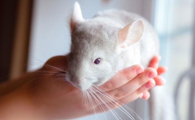 Bilindiği gibi değilmiş: İnsanlar 15 bin yıldır farelerle yaşıyor