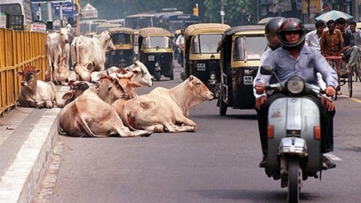 Hindistan'da inek öldürmenin cezasını duyunca çok şaşıracaksınız!