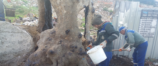 Gaziosmanpaşa'da Tarihi Çınar Ağacı Restore Ediliyor