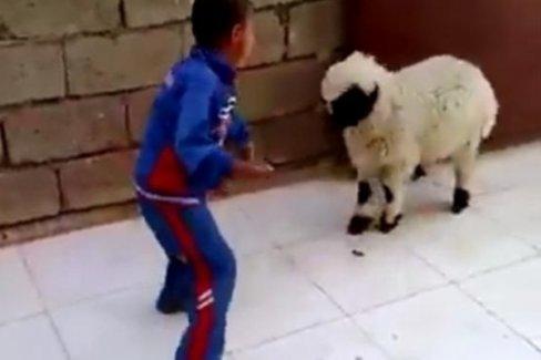 Çocuk ve kuzunun güldüren kavgası