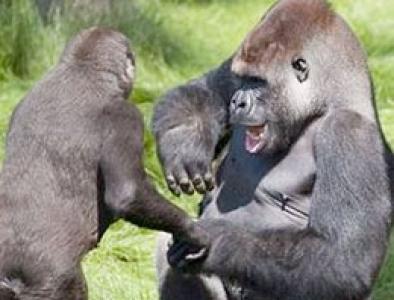 Gorillerden hayret verici hareket!