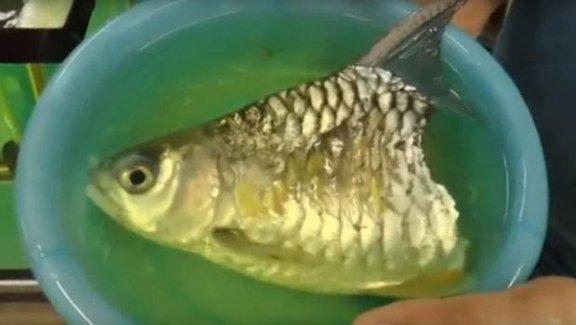 Gövdesinin yarısı olmayan balık böyle yaşadı!