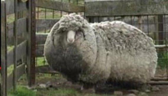 Kırpılmamak İçin Yıllarca Kaçan Koyunu Görenler Şaştı Kaldı