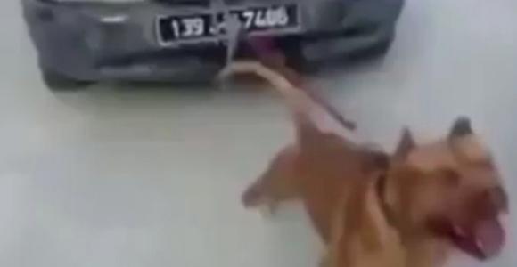 Pitbull otomobil çekti