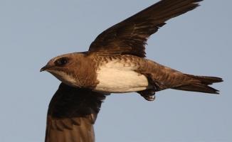 Çorum'da evinin çatısında ve bahçesinde 3 ebabil kuşu buldu