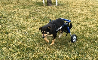 Trafik Kazasında Engelli Kalan Köpek Yürüteç İle Yeniden Hayata Tutundu