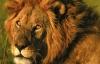 Aslanları aslan yapan 10 ilginç özellik