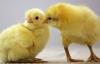 Civcivlerin cinsiyetlerini belirlemeye yılda 60 bin dolar