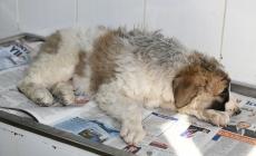 Genç kızdan yaralı köpeğe insan muamelesi