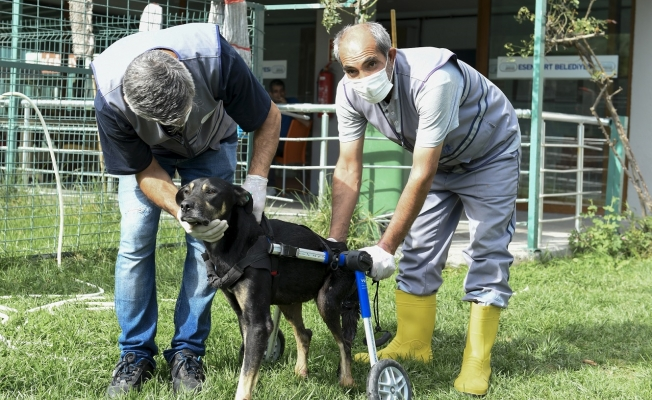 Umut Köpek Özel Tasarlanan Ortopedik Yürüteçle Hayata Tutundu