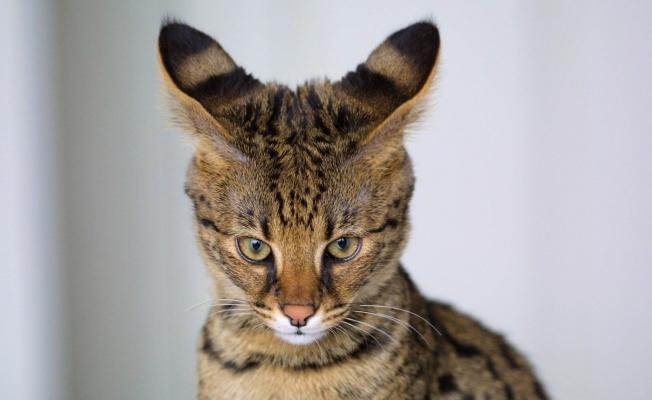 Dünyadaki En Pahalı ve Uygun Kedi Fiyatları Nelerdir?