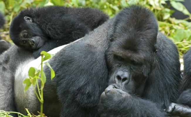 Goriller Hakkında 9 Büyük Tüylü Gerçek