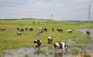 Halk Süt'ün Kaynağı Silivri Ve Çatalcalı Üreticiler Olacak