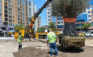 Esenyurt'ta Yüz Yaşını Aşmış Zeytin Ağaçları Dikildi